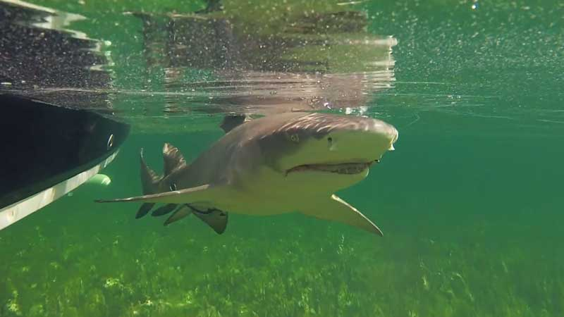 Lemon Shark for the Fish Guyz on Fishing TV